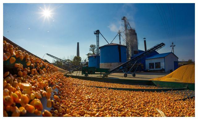 热点关注:山东玉米涨价是稳步上涨还是昙花一现?