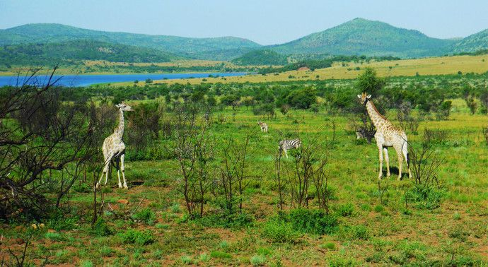 南非北部的比林斯堡野生动物园,面积之大,比整个新加坡还要大
