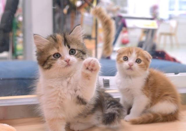 淘气的宠物猫,活泼可爱,爱宠物的人首选