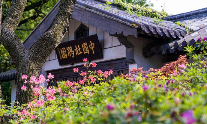 无锡惠山古镇的杜鹃花