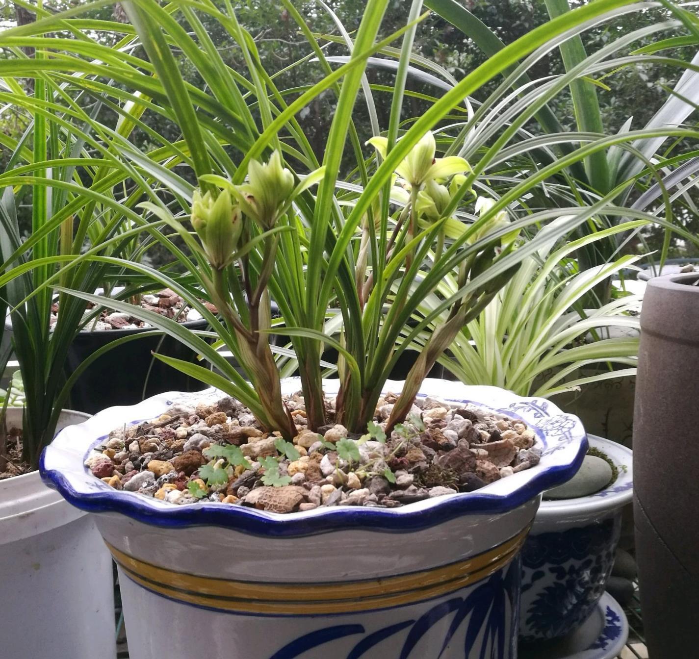 曾经的天价兰花,现在很便宜,花香浓郁,养护简单,很值得栽培