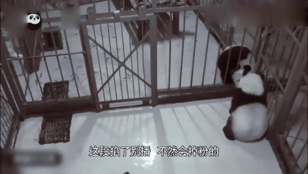 大熊猫越狱不成成了笑柄