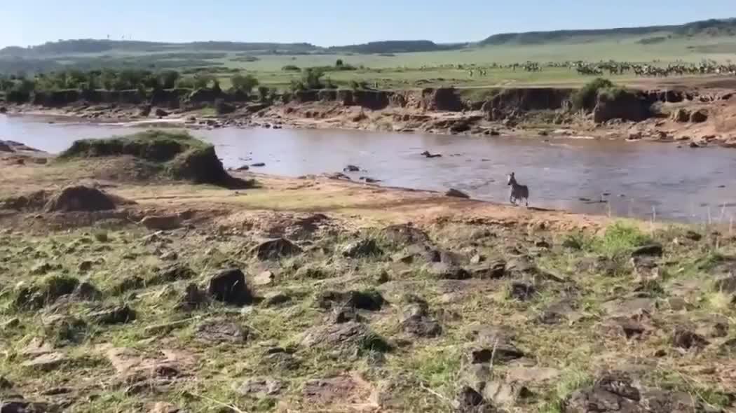 斑马逃过鳄鱼出没的河流却又遭遇了狮子