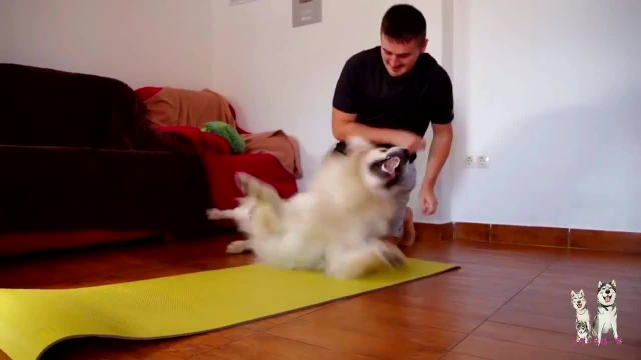 金毛一看见瑜伽垫就疯了,谁碰都不行