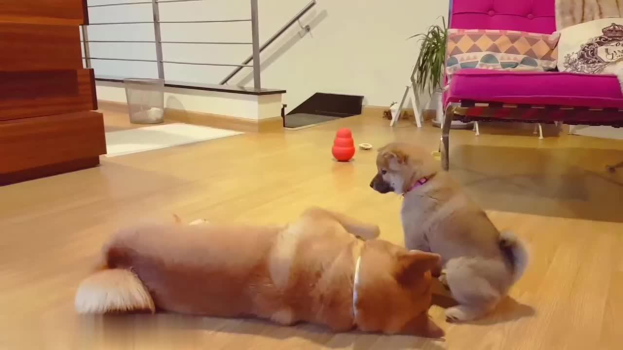 肥嘟嘟很激萌的柴犬幼崽想要闻柴犬爸爸的屁股两只狗狗周旋打转