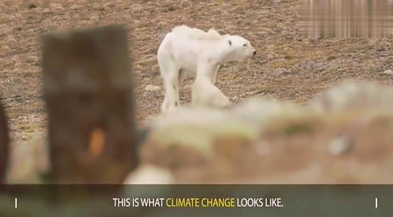 气温上升冰雪融化 骨瘦如柴的北极熊生存艰难