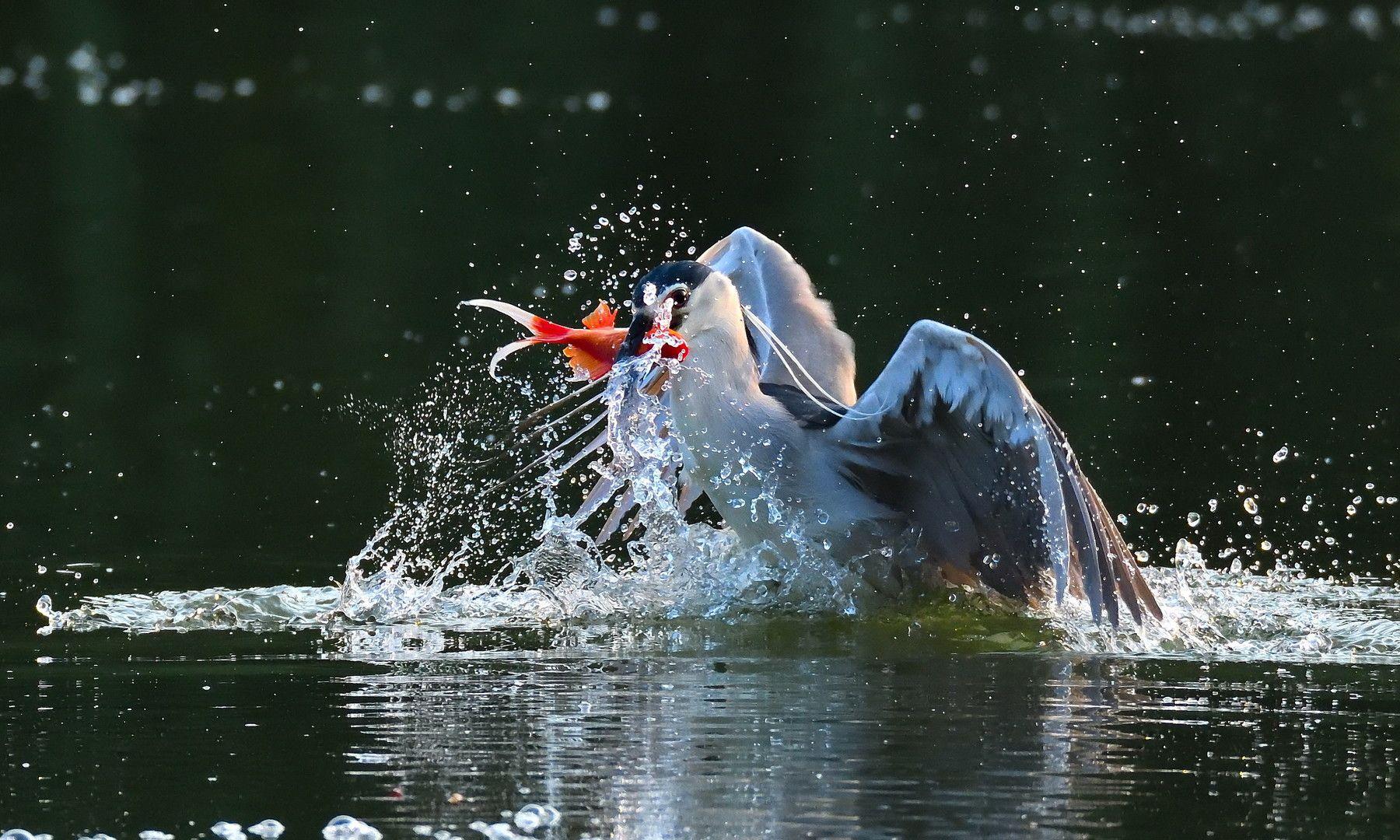 生态摄影:鹭鸟捕鱼瞬间