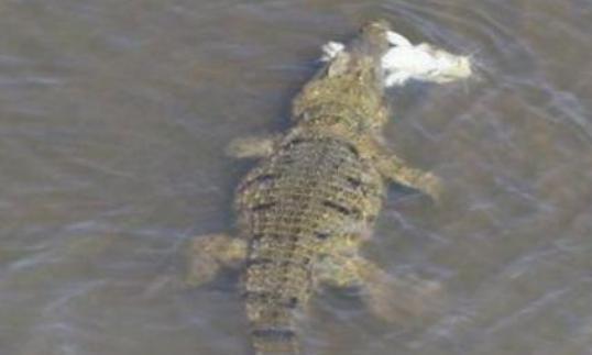 巨鳄捕到一条大鱼,抬头看见它飞过来,吓得赶紧吐出嘴里的鱼