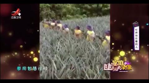 这样的工作效率真的是太高了,运输菠萝形成人工传输带