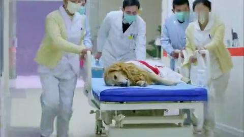 神犬小七:医科大学毕业的艾亮,实习期英雄救美被医院开除
