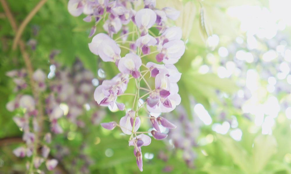 紫藤花开了,上海嘉定紫藤公园又迎来了它最梦幻的时刻