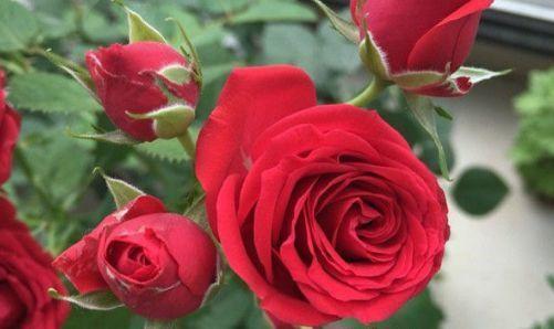 """喜欢玫瑰,不如养""""稀有玫瑰""""永远的莫斯科,花色红艳,妩媚娇羞"""