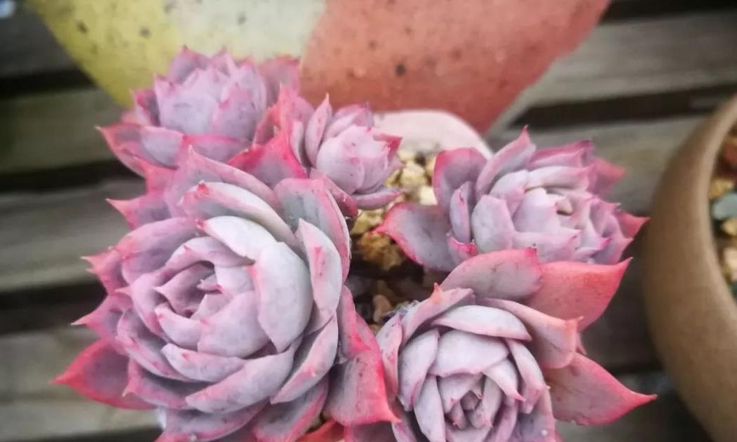 紫罗兰女王,多肉中的高冷紫色玫瑰,黑腐或化水后应该怎么养护