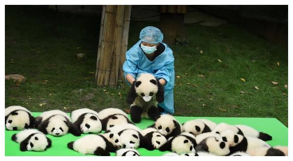 大熊猫从竹林里出来,见人便盘腿打坐,网友:萌的心都化了