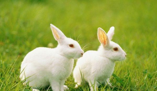 """最可爱的宠物兔,安哥拉兔像颗""""超大棉花糖"""",你觉得哪种最萌?"""