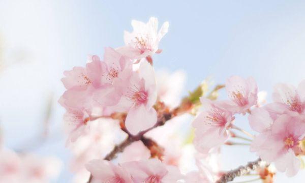 除了武汉大学,武汉还有哪里可以看樱花?