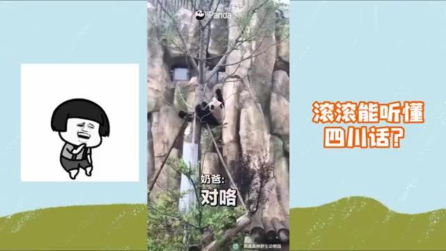 滚滚居然能听懂四川话?奶爸实力教学熊猫正确的下树方法!