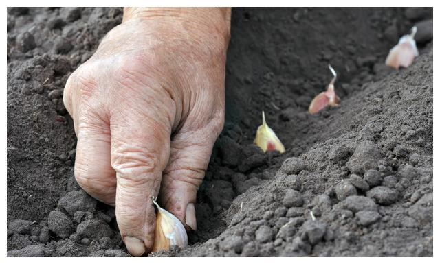 种大蒜,想要增产,他们就多了这一步!这么简单吗?