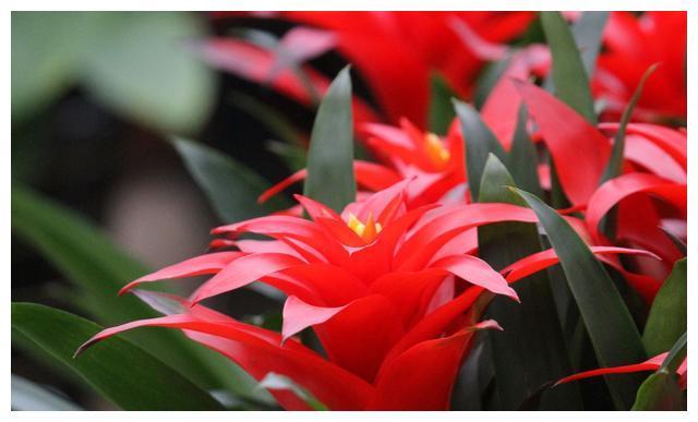 养鸿运当头的花友注意,这些小技巧做到了,鸿运当头花会又红又艳