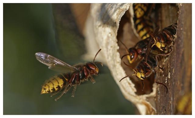 胡蜂养殖,黑尾胡蜂有多少种?怎样辨别?记住这些特性
