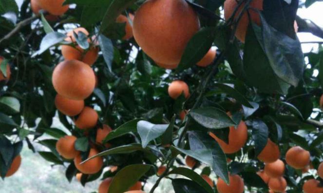 合适的土壤和风、二氧化碳是柑橘健康生长的必要因素