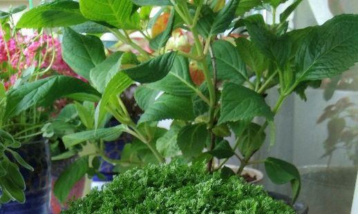 翠云草的养殖方法和注意事项,这些小技巧希望你能掌握