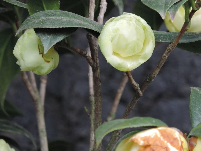 """喜欢养花,首选""""绿茶花""""黄达,含苞欲放,小巧玲珑,很可爱"""