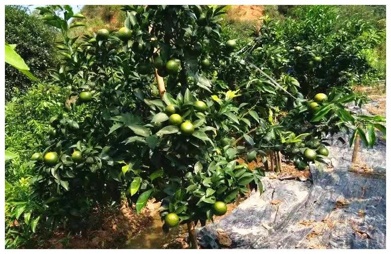 沃柑的种植技巧,喜高温,需水分,沙土壤的种植环境才能高产