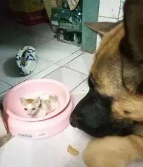 网友捡到一只猫回家,德牧天天把它放在饭盆里护着你是我的菜