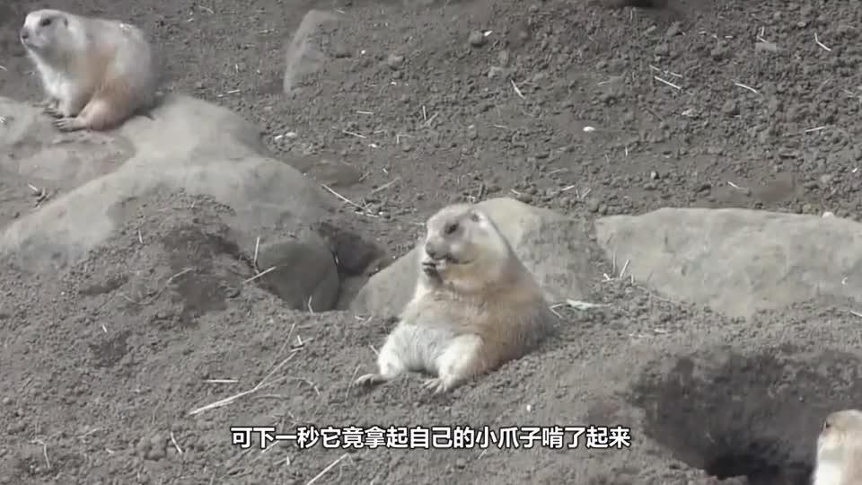 土拨鼠坐在地上啃手指,发现有人偷拍,土拨鼠:别忘了开美颜啊
