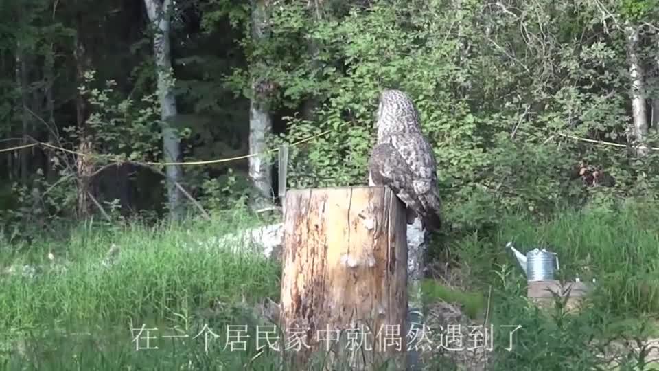 时隔35年,第一次在我国境内发现全球最大猫头鹰!比大熊猫都珍