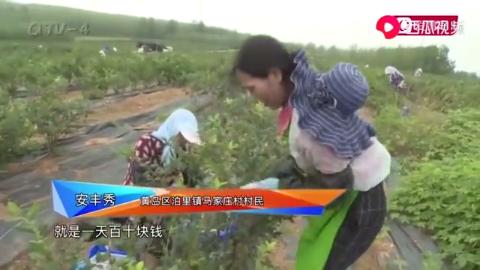 中国农业银行助力黄岛区三农产业发展,蓝莓农户收入可观!