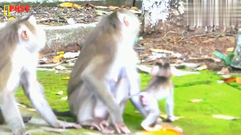 因为厌倦了和宝宝在一起,猴妈妈玛丽就用这种方式来控制她的宝宝