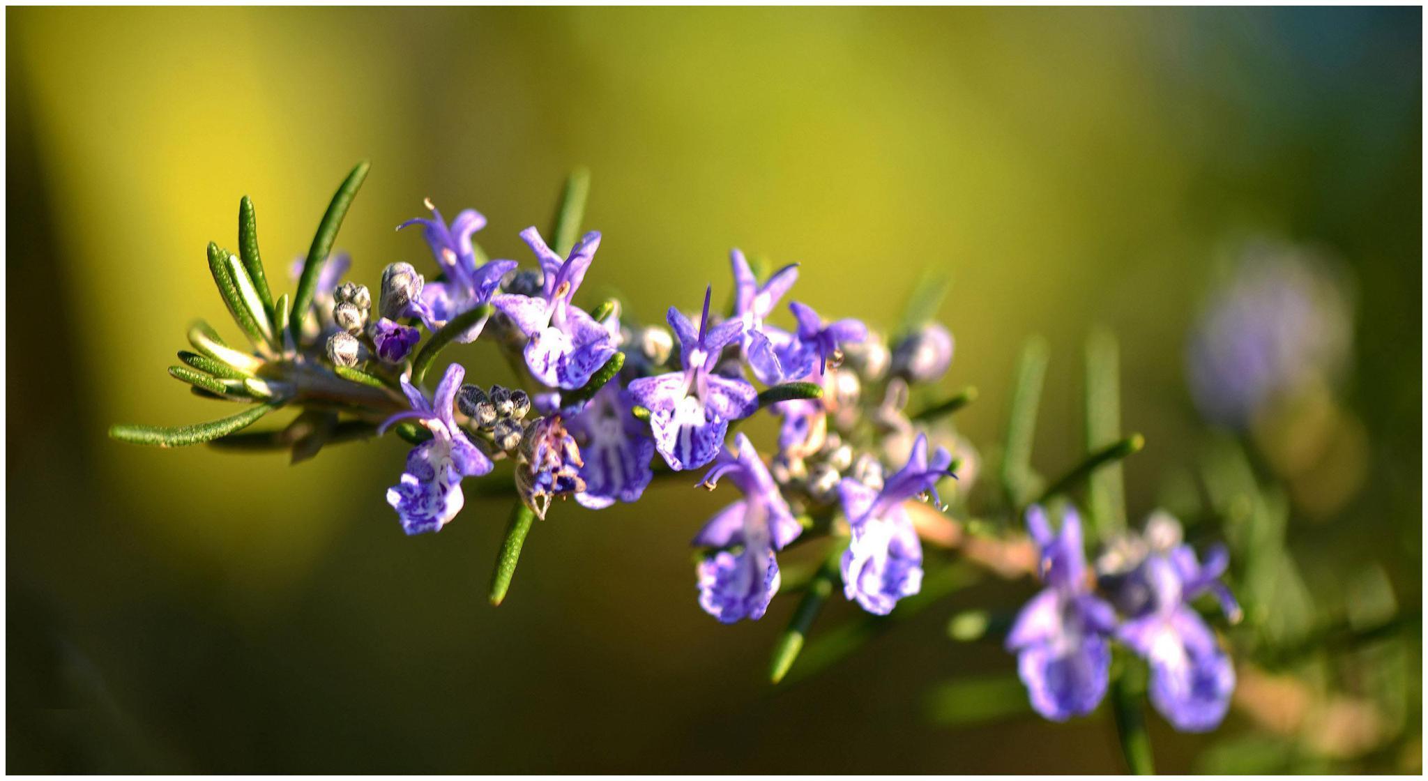 紫花凤梨,最喜欢阳光充足的环境,养护的时候注意