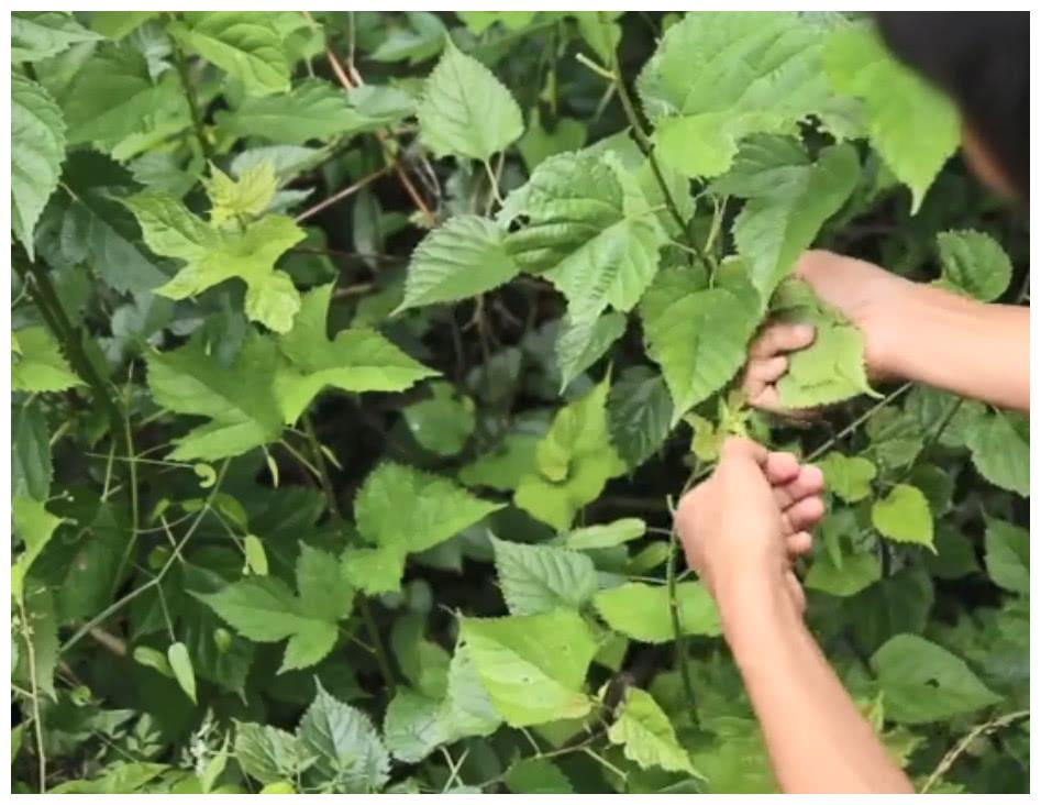 农村这种质感粗糙的叶子,小孩用来养蚕,大人用来做茶叶味道真香