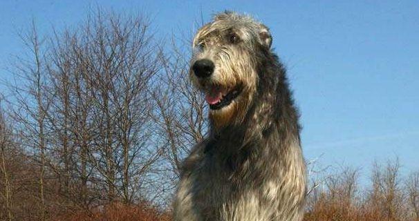 爱尔兰猎狼犬的身体结构结实,肌肉十分发达,有着优雅的姿态!