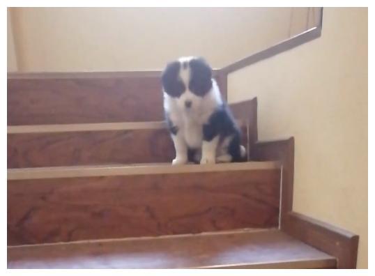 「边牧」小花教阿尔法下楼梯,没想到还要报酬,真郁闷(13)