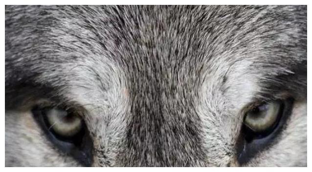 心理学:你觉得哪只狼最凶猛?一眼看穿你智商的高低,准哭了!