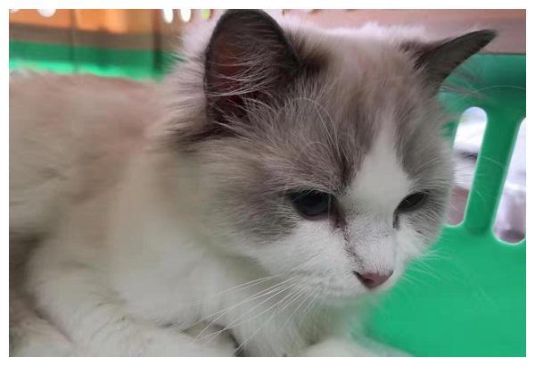 仅因一次口角 男子竟偷走室友6万元布偶猫