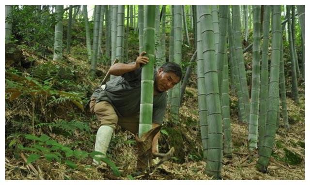毛竹怎么种植,掌握幼竹培育技术,注意补充水肥
