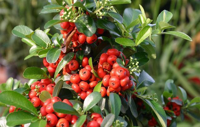 红凉伞,颜色特别的鲜艳,冬天也可以结果子
