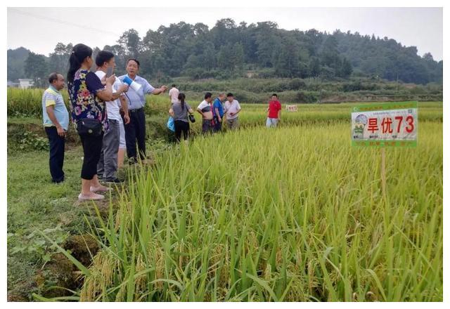 节水抗旱稻旱优73,全国种植面积已超300万亩,荒山旱地都能种