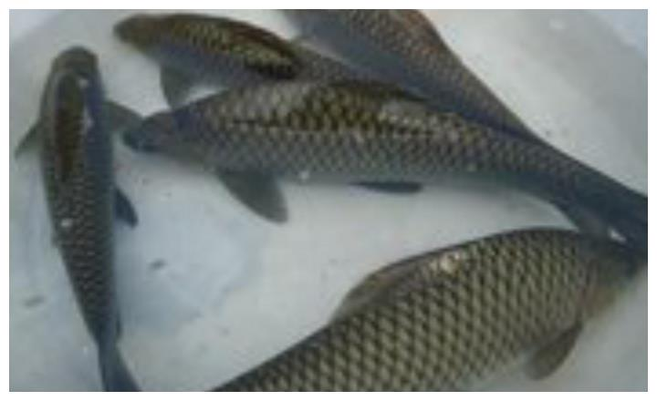啤酒砂锅鱼怎么做最好吃?教你5大步骤,鱼肉鲜嫩没有腥味