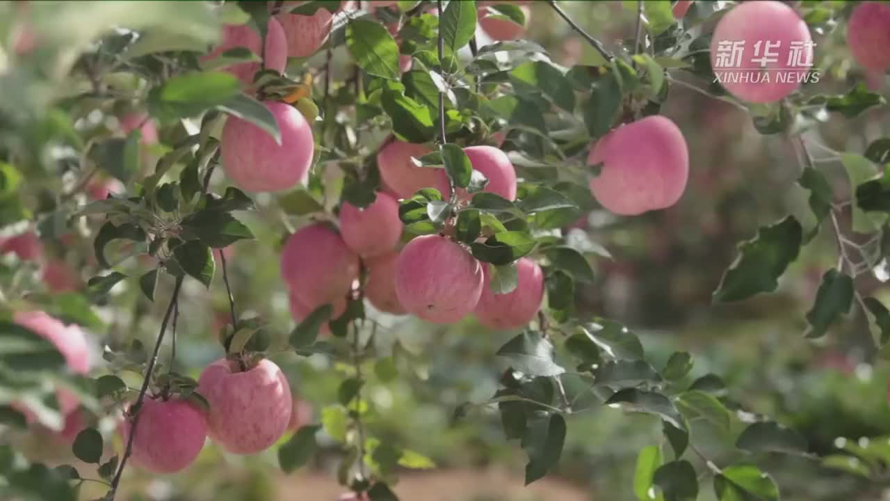 陕西洛川产业后整理让红苹果变金苹果