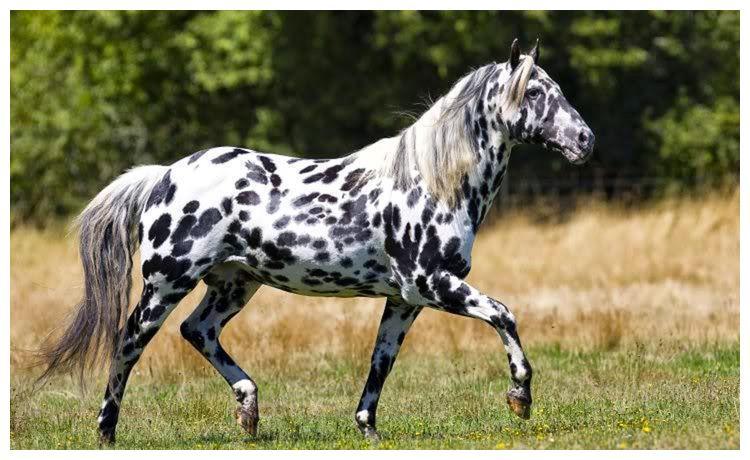 """世界最风骚的马—阿帕卢萨马,被称之为""""斑点美人"""""""
