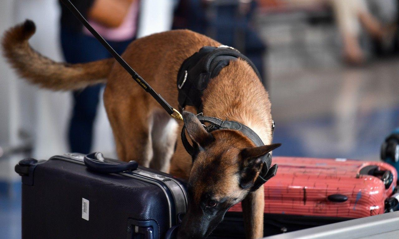 正在检查乘客行李的一只服务犬