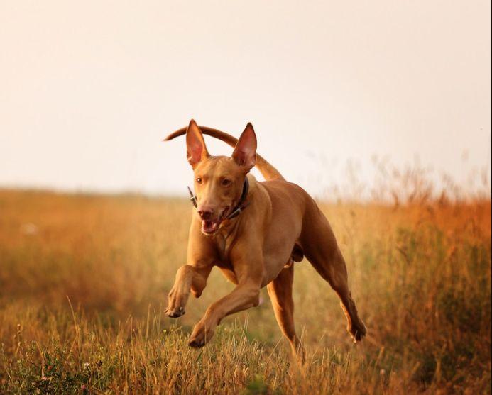 夏天在高温下运动后,法老王猎犬需要大量饮水来散热和解渴!