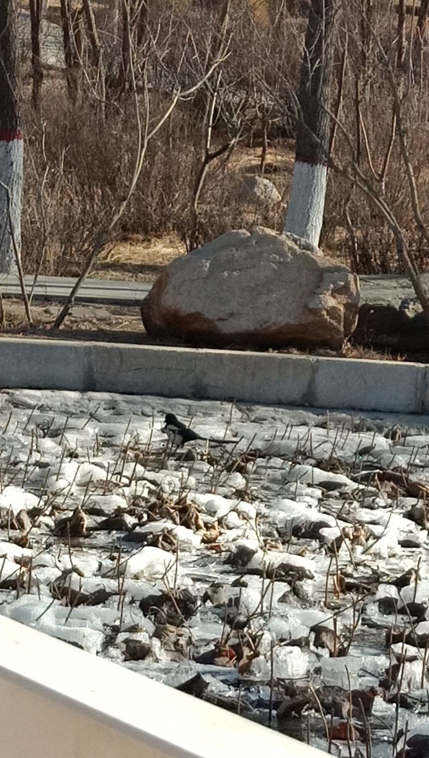 这边乌素图公园春风吹拂的湖面,那边阿尔泰公园还有冰冻的小鱼