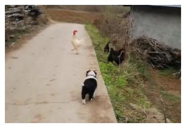 「边牧」阿尔法遇上鸡,想着是高手对决,没想到是鸡飞狗跳(14)