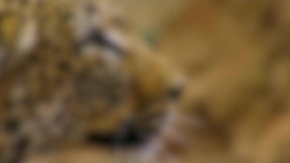 4只猎豹围攻羚羊下一秒却遭到羚羊反杀镜头拍下惊险全过程